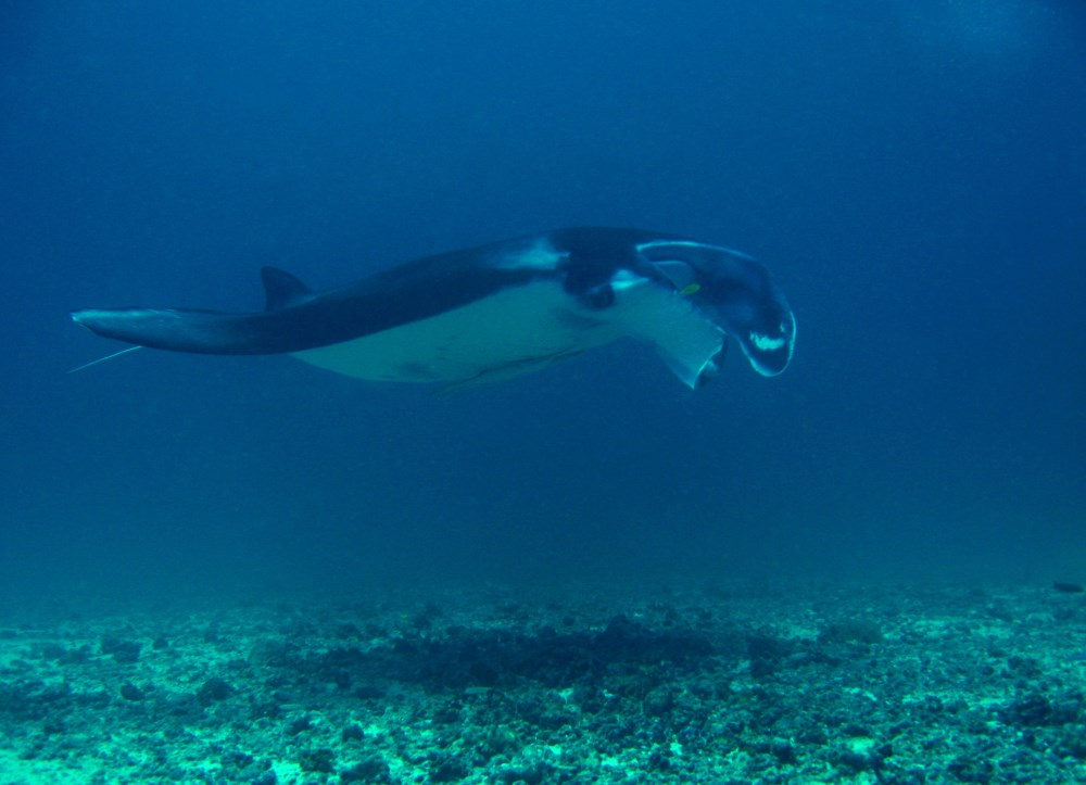 Manta Ray at Sangalaki Island.