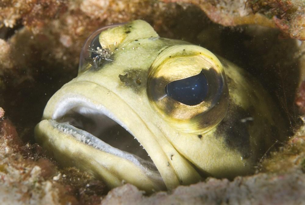 Giant Jawfish, Lankayan Island.