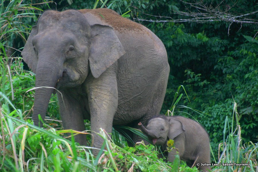 Pygmy elephants roaming the banks of the river.
