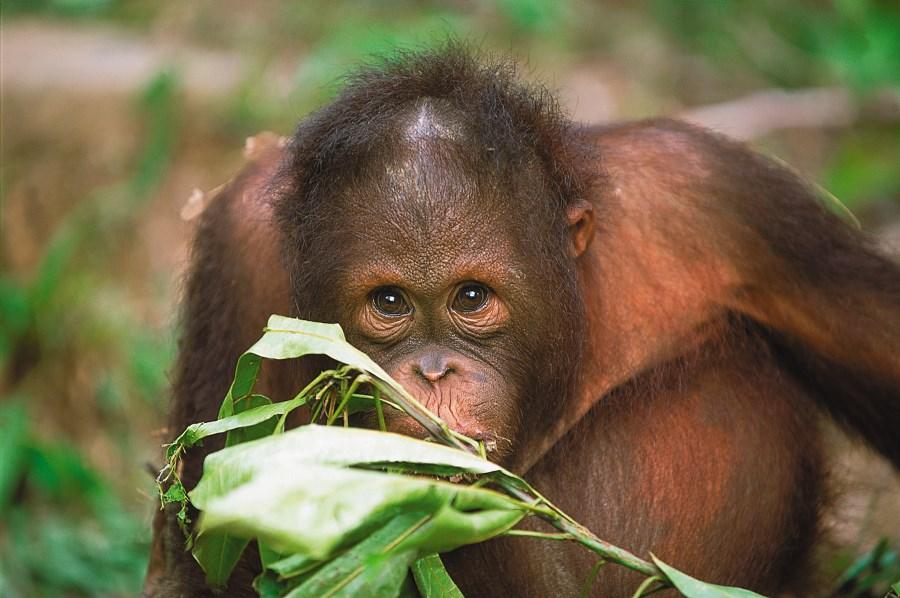 Mischievous young orang-utan.