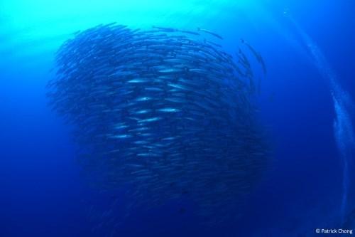 Big schools of barracudas at Fusilier Paradise.