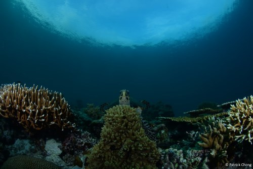 Green turtle at Mid Reef.