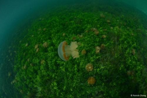 Moon jellyfish at Kakaban Stingless Jellyfish Lake.