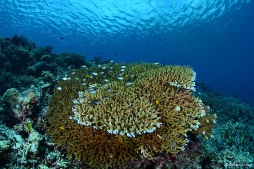Pristine corals at Maratua Reef.