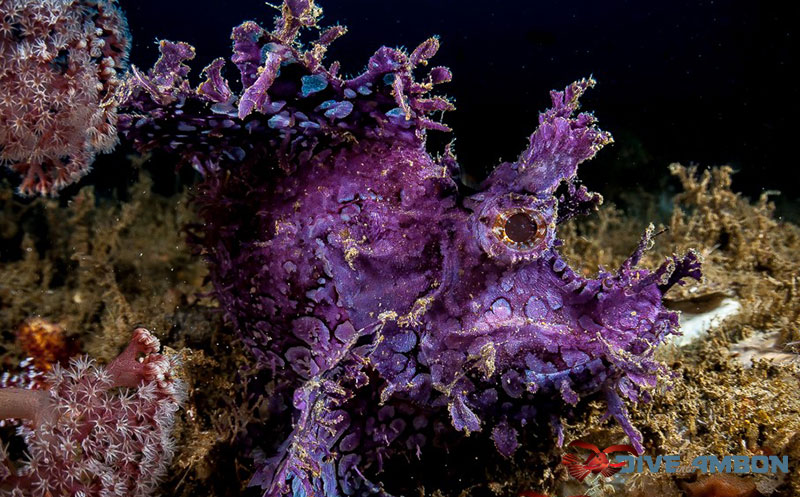 Vividly coloured purple Rhinopia scorpionfish.