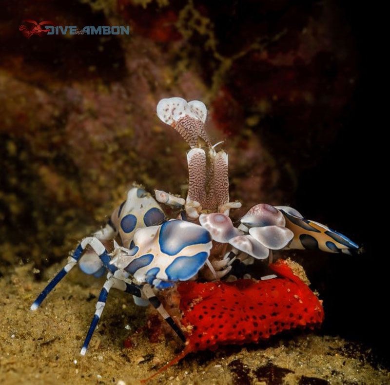 Harlequin shrimp taking care of its eggs.