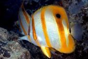 Beaked Coralfish.