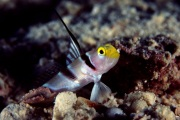 Black Ray Shrimp Goby.