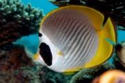 Panda Butterflyfish.