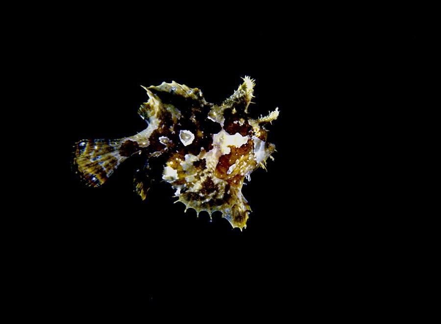 Sargassum frogfish.