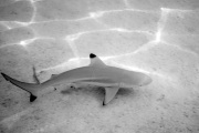 Blacktip Reef Shark is identified by the prominent black tips on its fins.