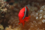 Bridled Anemonefish, one of many species of beautiful clown fish.