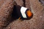 Panda Anemonefish.