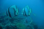 Round Batfish.