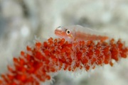 Sea Whip Goby.