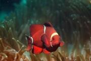 Spine Cheek Anemonefish.