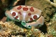 Spot Back Coral Crab.