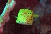 Yellow Boxfish.