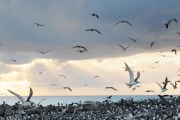 Crested Terns, one of some migratory birds stopping over at Layang Layang