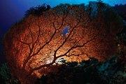 Giant Gorgonian sea fan