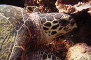 The rare and critically endangered Hawksbill Sea Turtle