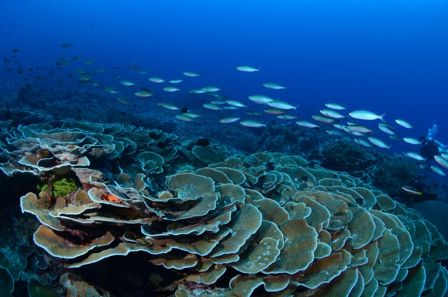 Blacktipped fusiliers at Cabbages Coral