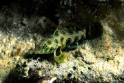 Picture Dragonet