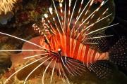 Spot-Fin Lionfish