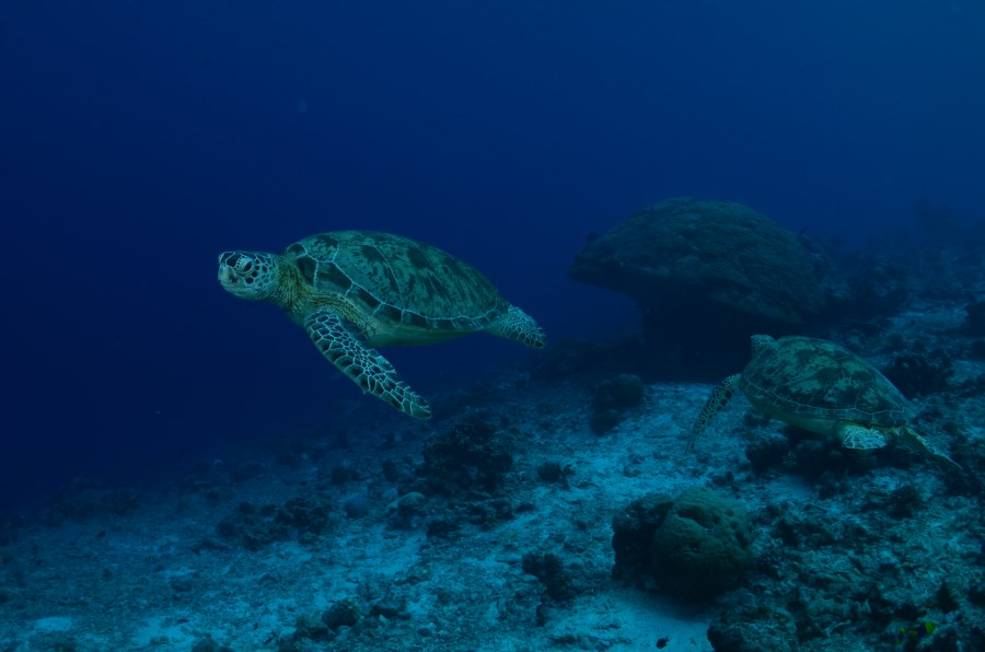 Turtle Traffic dive site has among the highest nesting turtles in the region apart from in Sangalaki Island