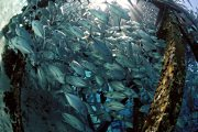 Bigeye Trevally under the jetty