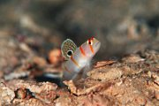 Sailfin Shrimp Goby