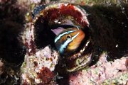 Tube Worm Blenny