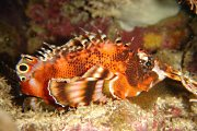 Two-Eyed Lionfish