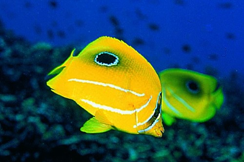 Besides pelagic fishes, there are also beautiful reef fishes too such as this Bennett's Butterflyfish.