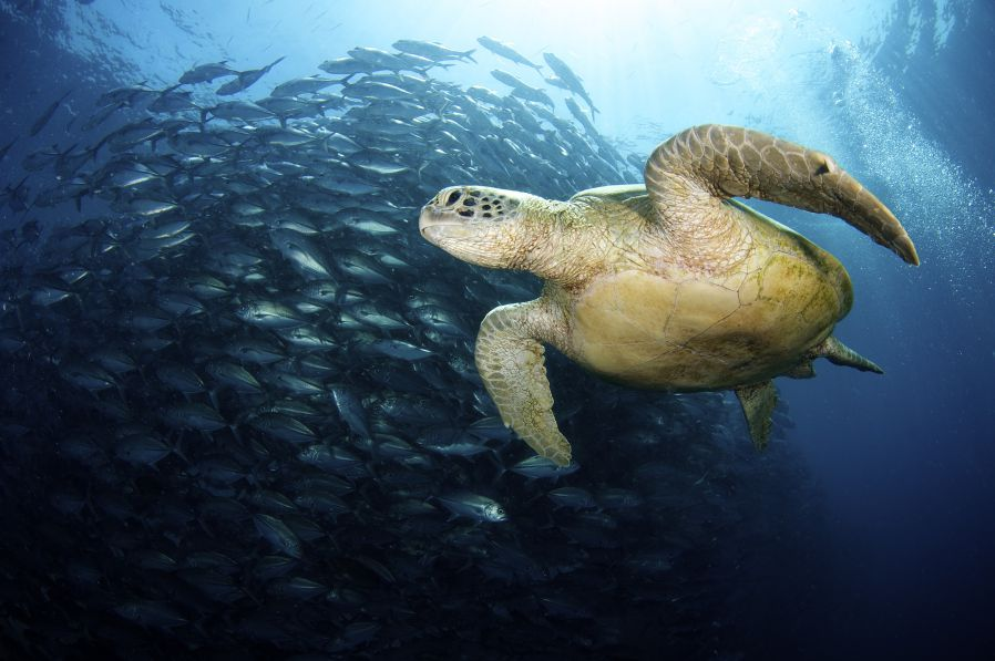 Turtles move so clumsily on land, but underwater, they are so graceful.