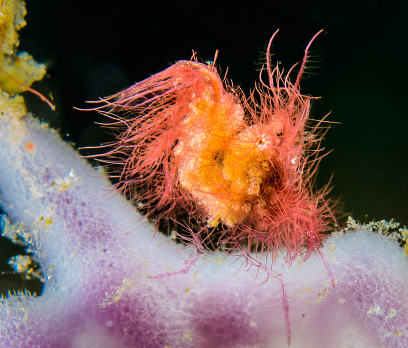 Tiny hairy shrimp sitting on a sponge.