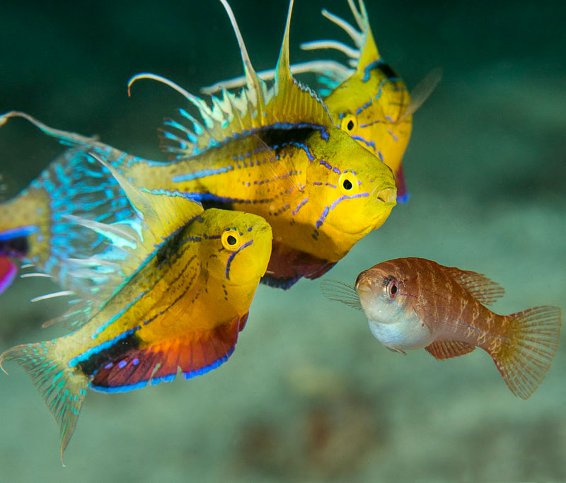 Mating dance of the Flasher Wrasse is mesmerizing to watch.