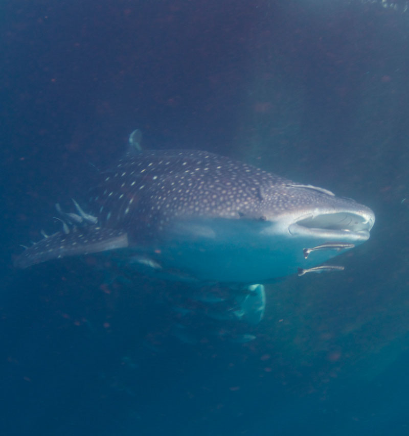 Whale shark can usually be seen during the new moon phase.