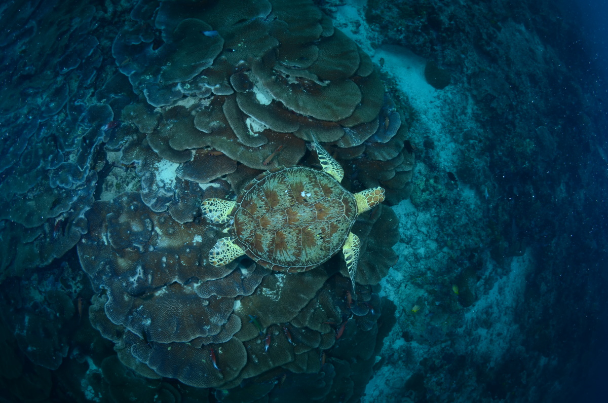 Green turtle on cabbage corals, Turtle Traffic, Maratua Island. © Patrick Chong