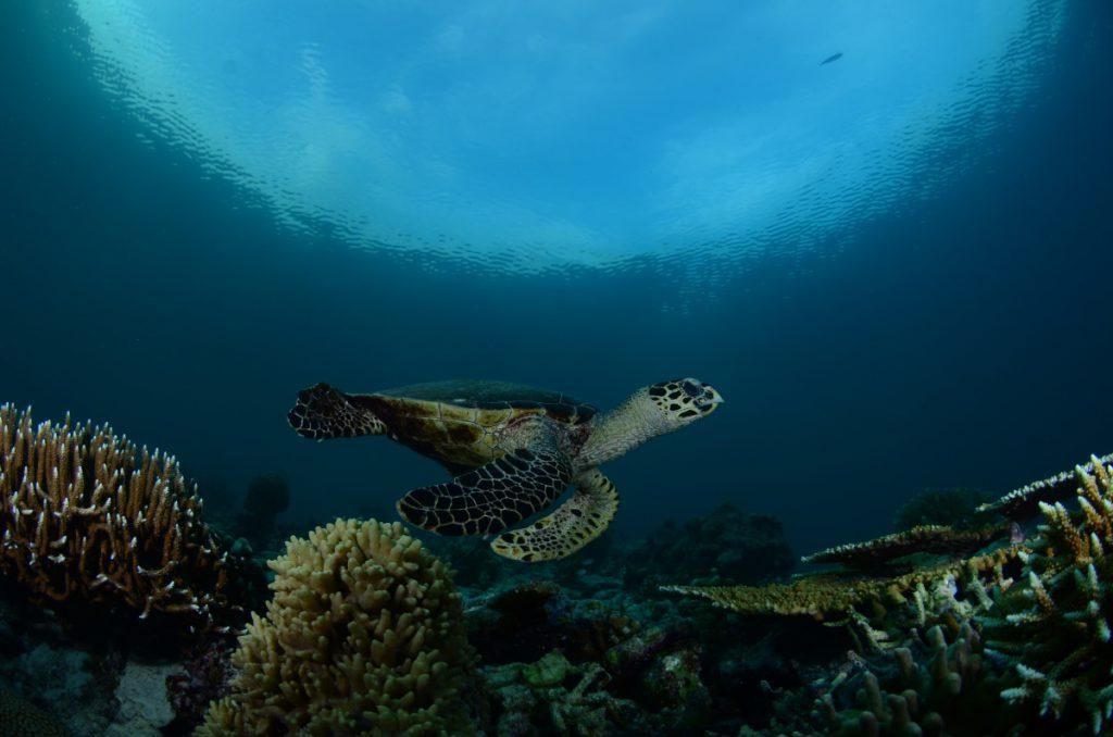 Hawksbill turtle at Mid Reef, Maratua Island. © Patrick Chong