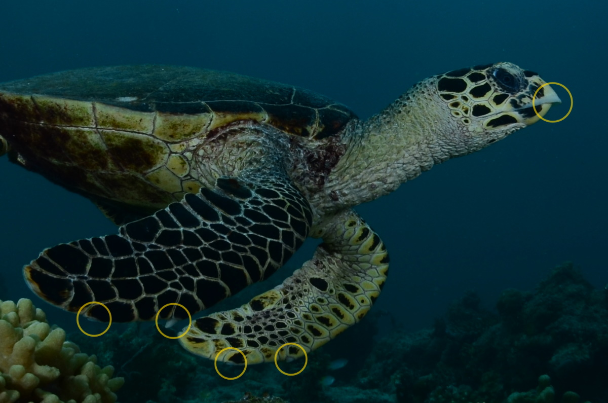 Hawksbill turtle: pointed beak, 2 claws on each flipper. © Patrick Chong