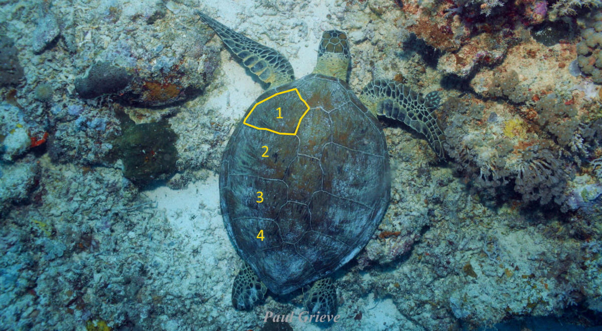 The scute outlined in yellow is a lateral scute. On this turtle, there are 4 lateral scutes on each side of the turtle. © Paul Grieve