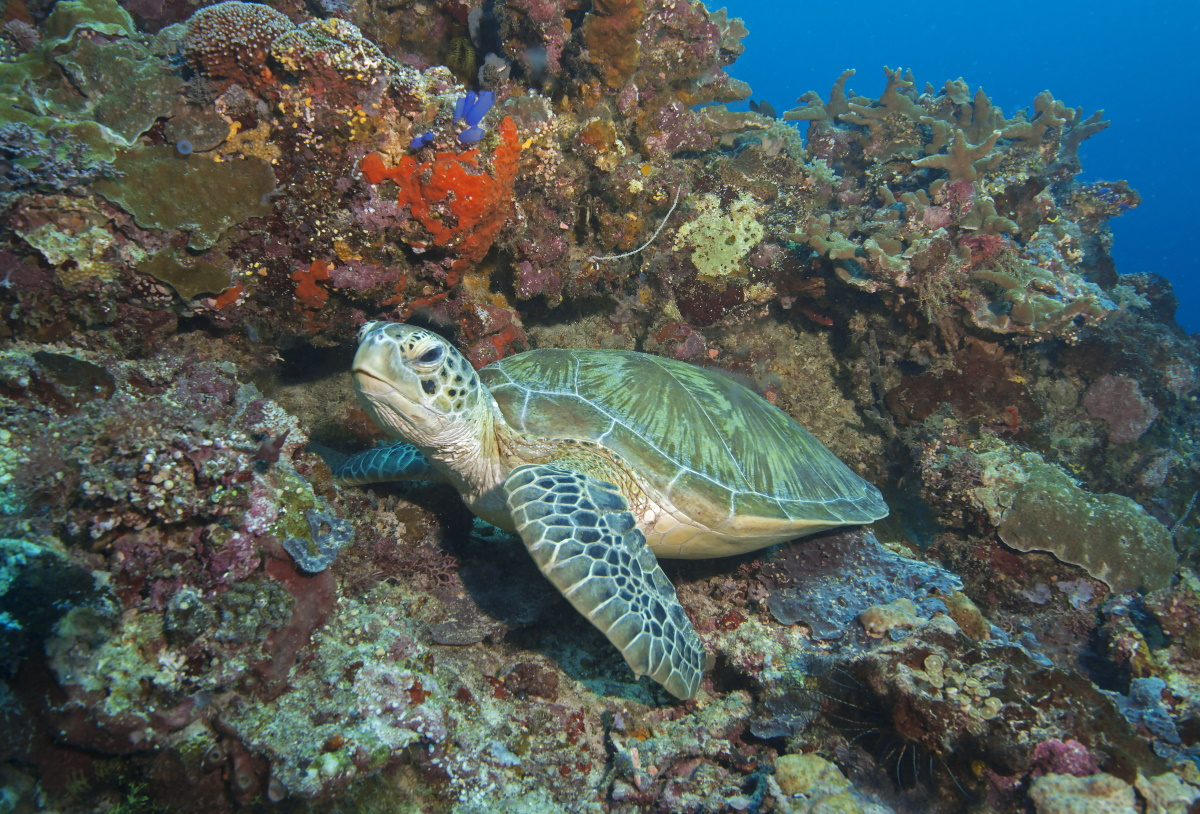Green turtle, Maratua Island. © Pedro Vieyra