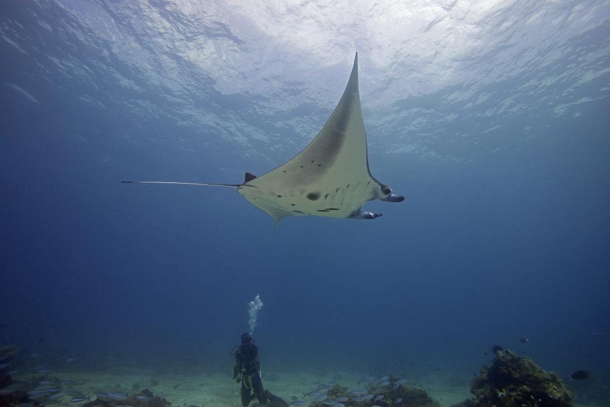 Manta ray, Sangalaki Island. © Pedro Vieyra