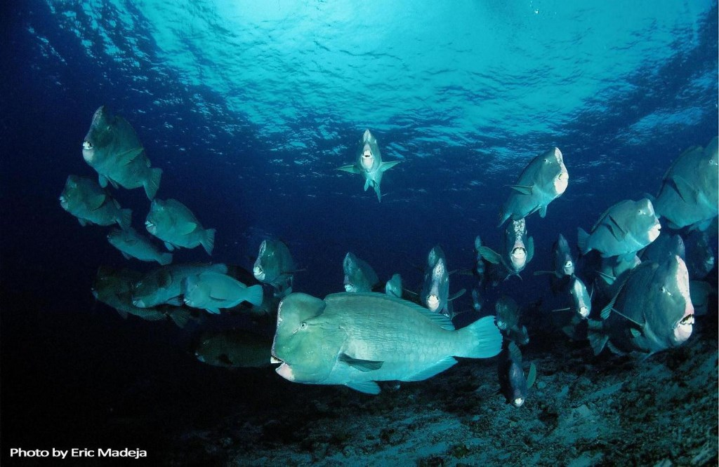 School of Bumphead Parrotfish © Eric Majeda