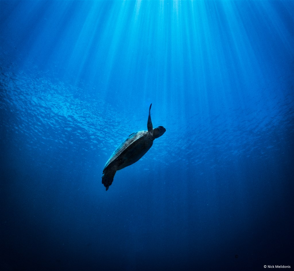 Green Turtle swimming towards the surface to breathe. © Nick Melidonis