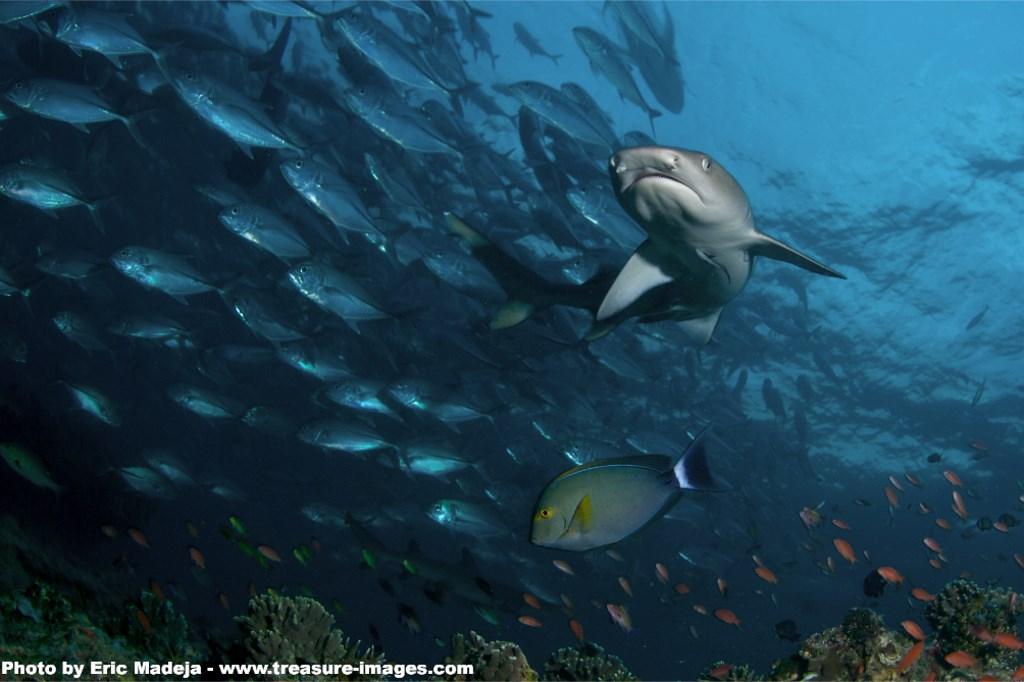 White Tip Shark © Eric Madeja